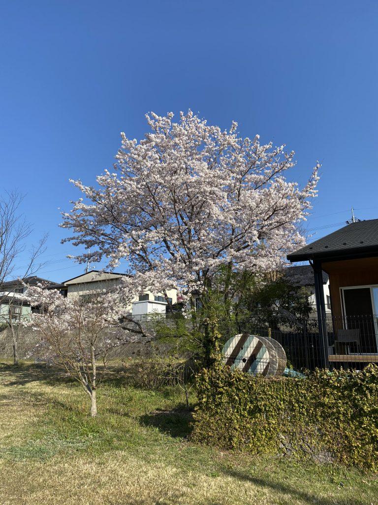 桜とつくしと満月と